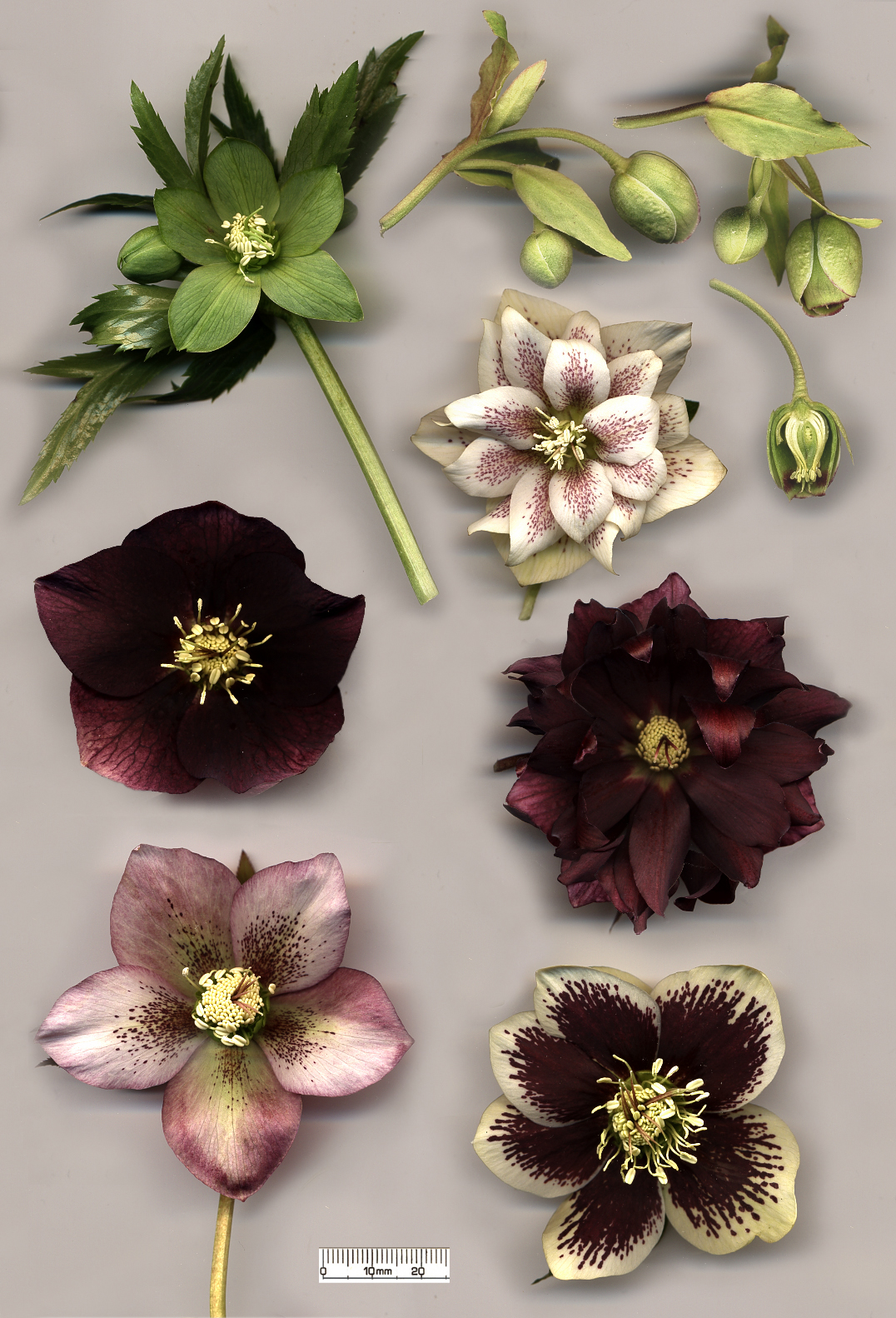 Hellebore florets - Green flowers for St. Patrick's Day