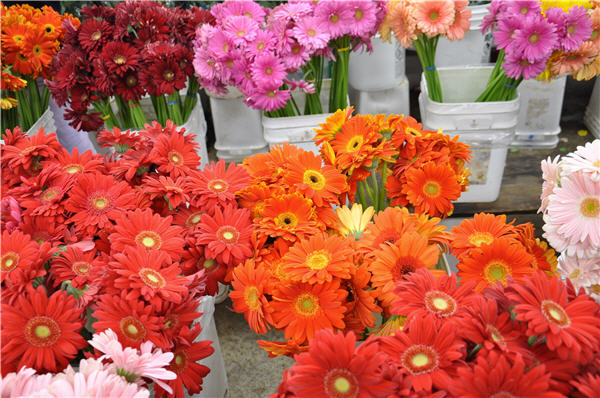 Gerber Daisies at the LA Flower Mart