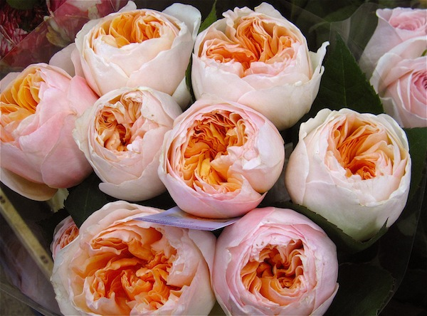 Awesome Peach Garden Rose