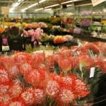 Pinchusion Protea