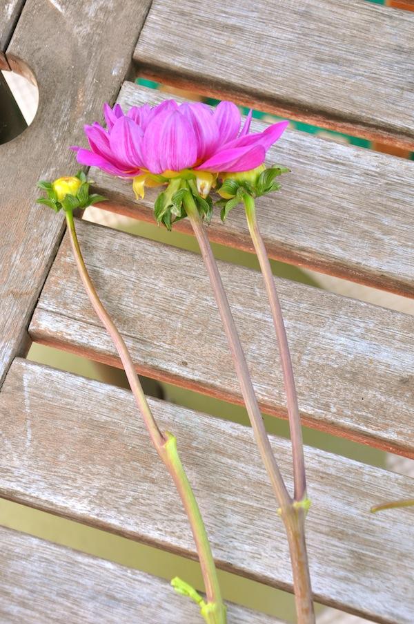 Cleaned stem of Dahlia