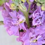 stock-lavender