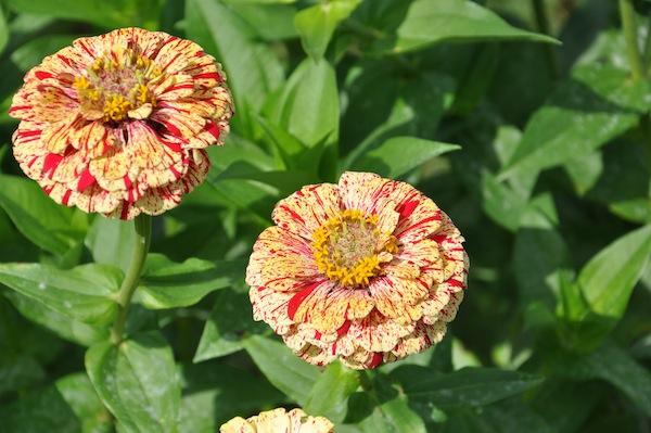 flowerduet.com-zinnias-bicolor