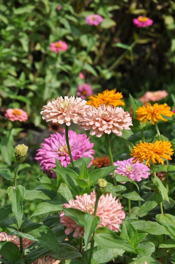 flowerduet.com-zinnias