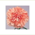Light Pink Candy Carnation. Source: SierraFlowerFinder.com.