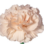 Maria Callas Cream Carnation. Source: SierraFlowerFinder.com