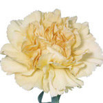 Re-Sole Cream Carnation. Source: SierraFlowerFinder.com