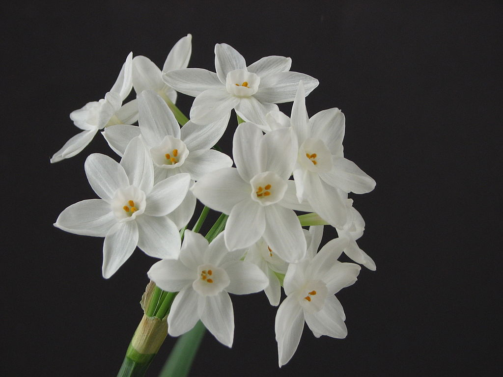 White flowers for winter celebrations and home paperwhites izmirmasajfo