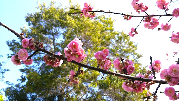 Japanese Apricot Flowering Branches