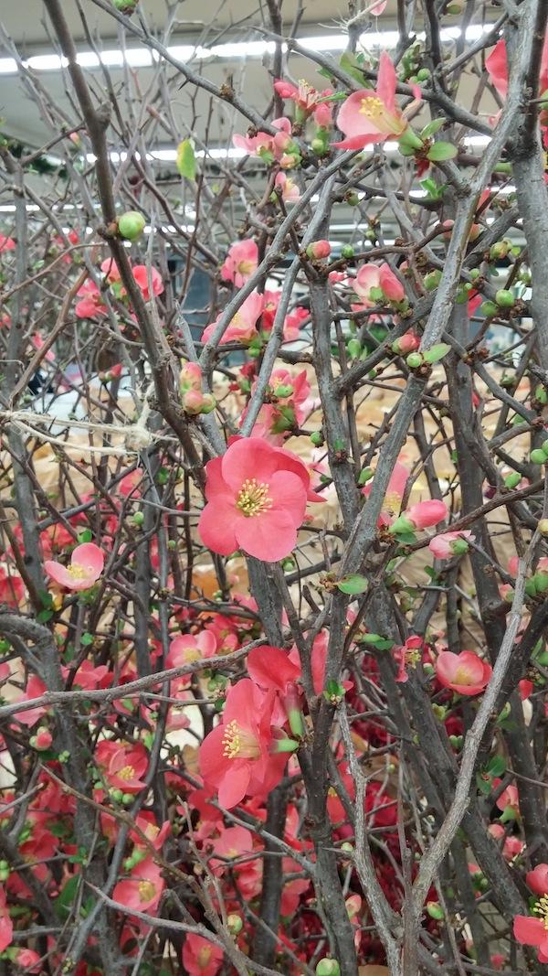 Dark pink quince blooms