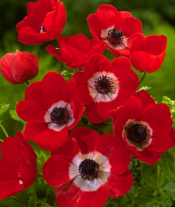 Red anenomes.