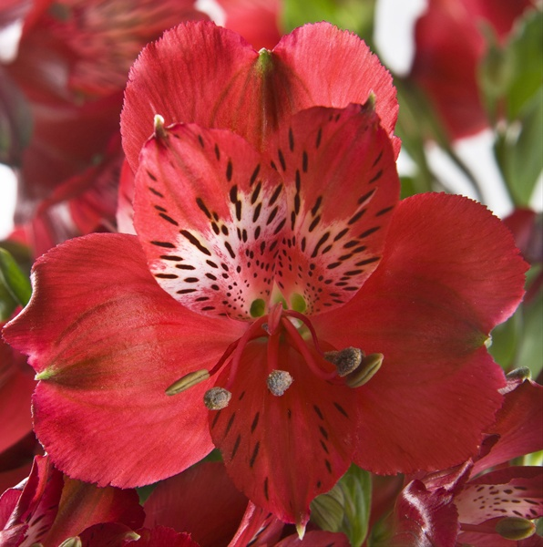 Red Passion Alstroemeria