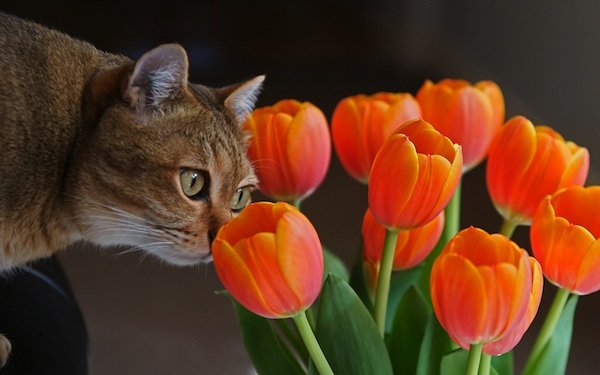 Cat smelling orange tulips
