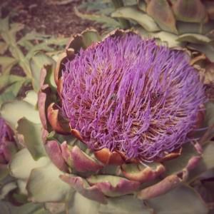 bloomed-artichoke