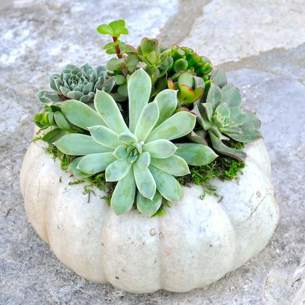 Grey and siliver succulent pumpkins