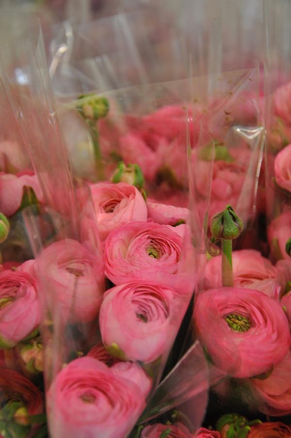 Pink Ranunculus Blooms