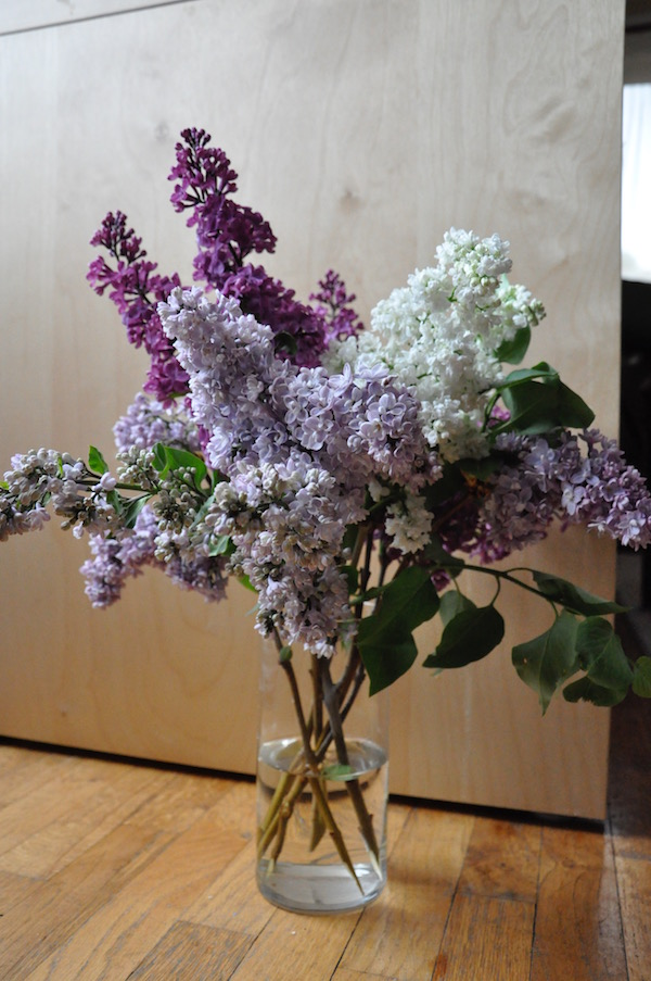 White and purple lilac blooms