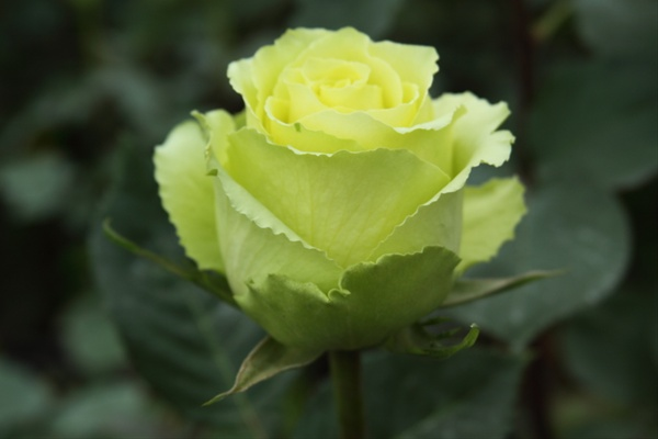 Limbo - A standard green rose. Photo: Sierra Flower Finder