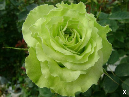 Super Green Rose Photo: Sierra Flower Finder