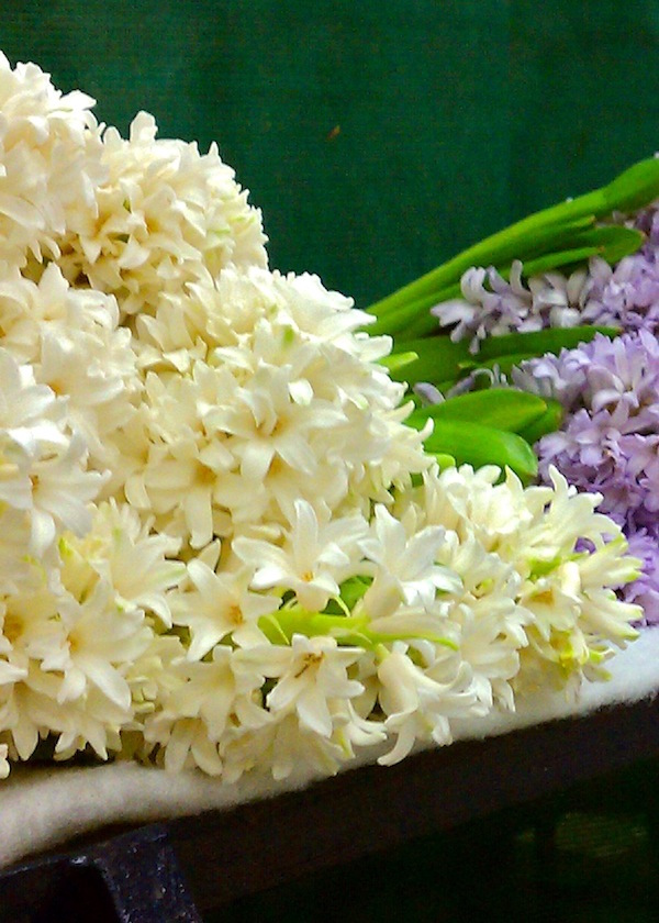 White and Purple Hyacinth