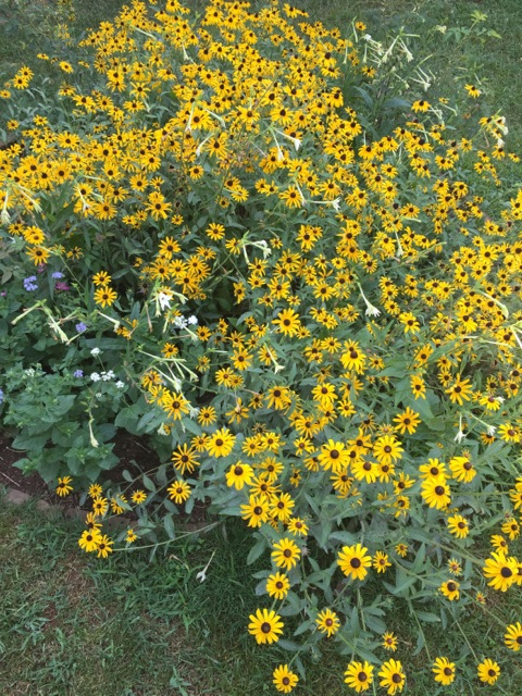 Black Eyed Susan in full bloom at Monticello