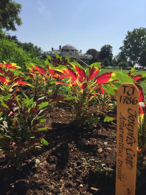 Tricolor Amaranth