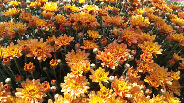 Fall Chrysanthemums at my local Armstrong Garden Center.