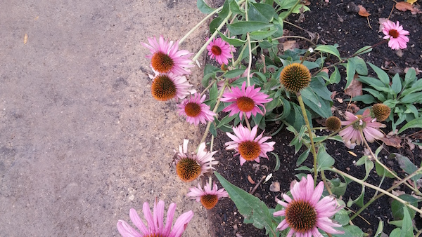 sunset-coneflowers