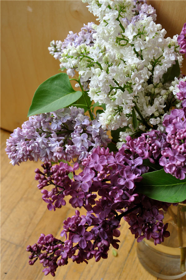 Lilacs in three colors!