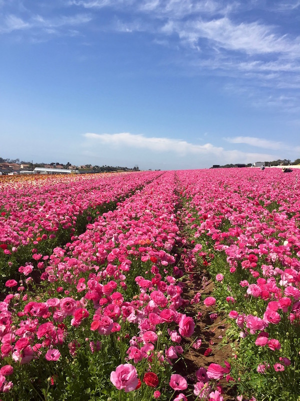 Flower Fields in Carlsbad, California.