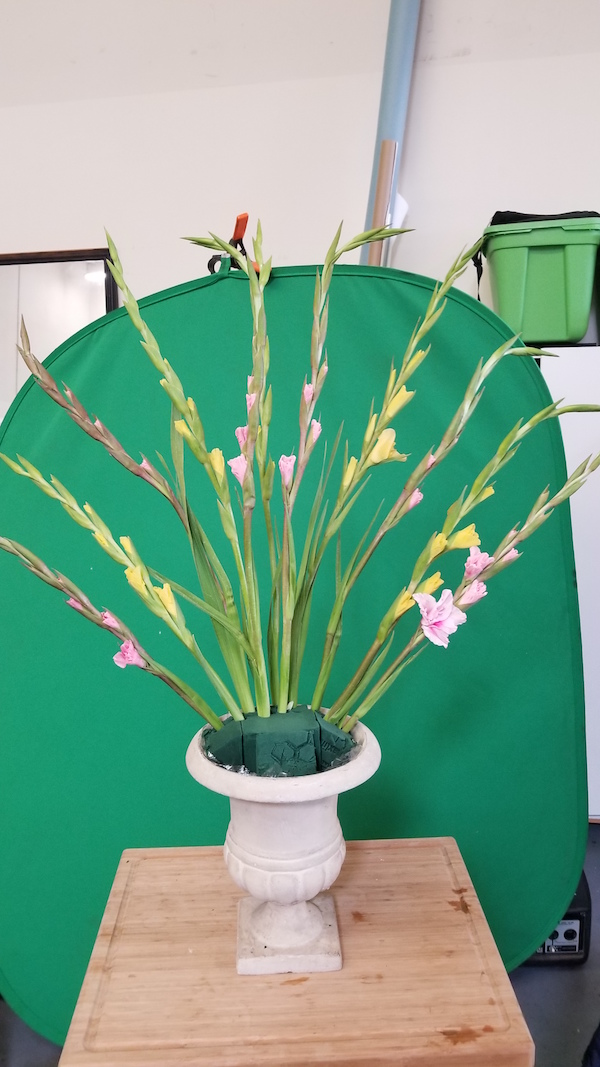 Fan of Gladiolus stems