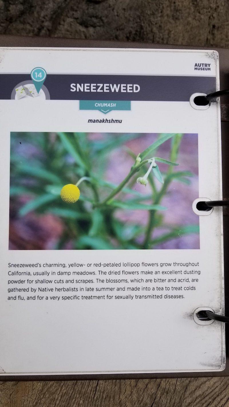 Craspedia looks like Sneezeweed