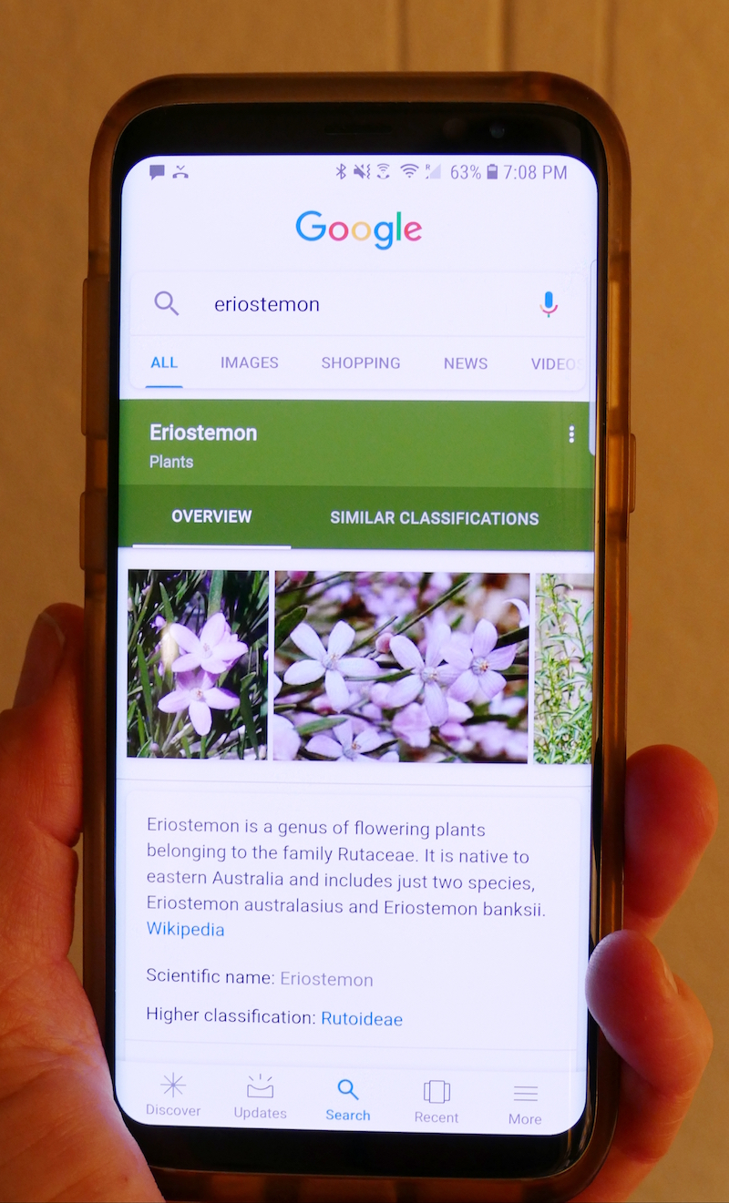 Eriostemon on Google
