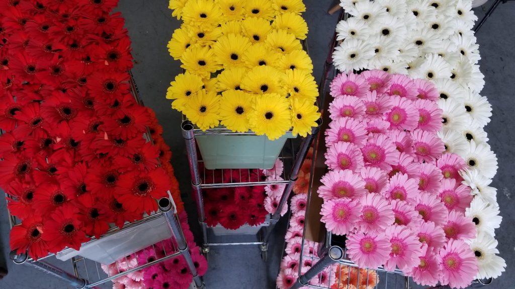 Gerbers on racks in Flower Duet's Studio
