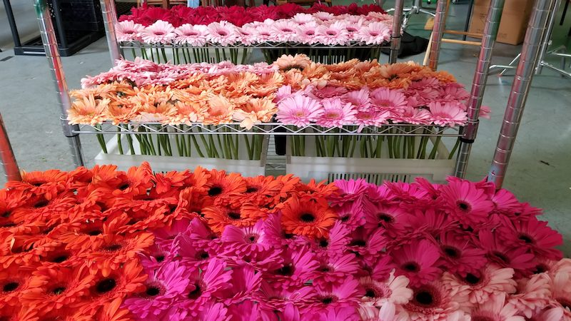 Gerber Daisies Conditioning