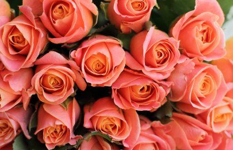 Coral Rose 'Amsterdam'