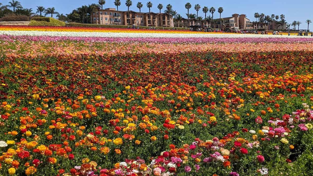 Flower Fields by Kit Wertz