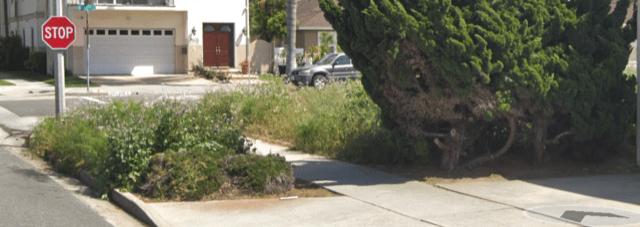 Tree Lawn Fennel