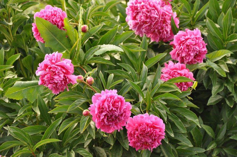 Peonies Growing on a bush